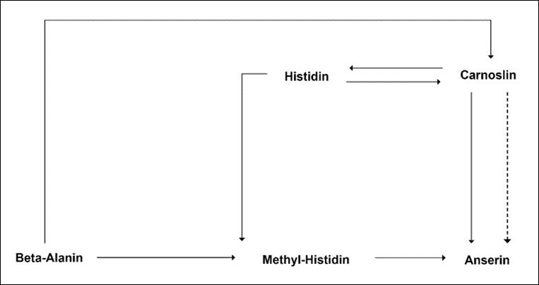 Beta-Alanin - Definition und Erklärung