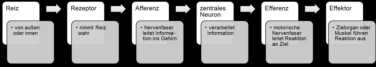 Verhalten Und Neurobiologie Reflexe 4 15